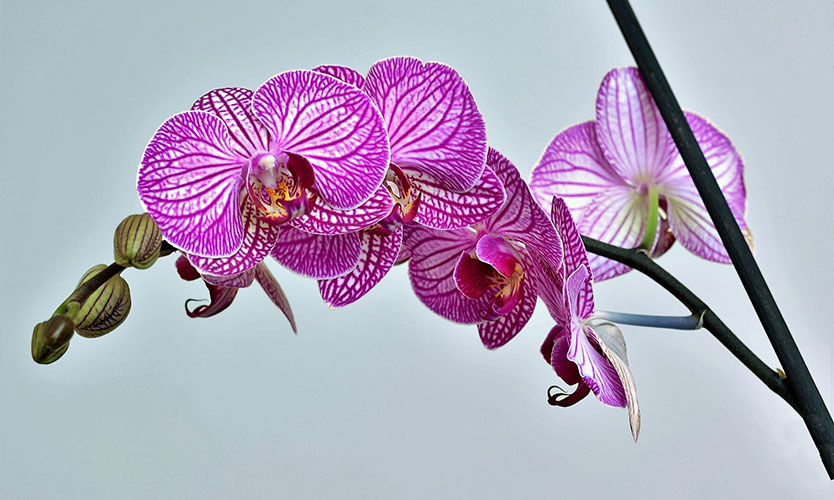 Phalaenopsis orchid - home improvements
