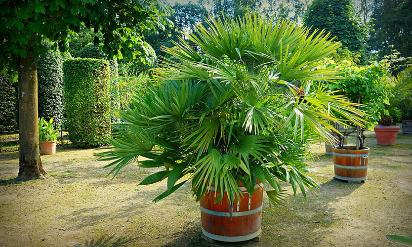 Potted Palm Tree - home improvements