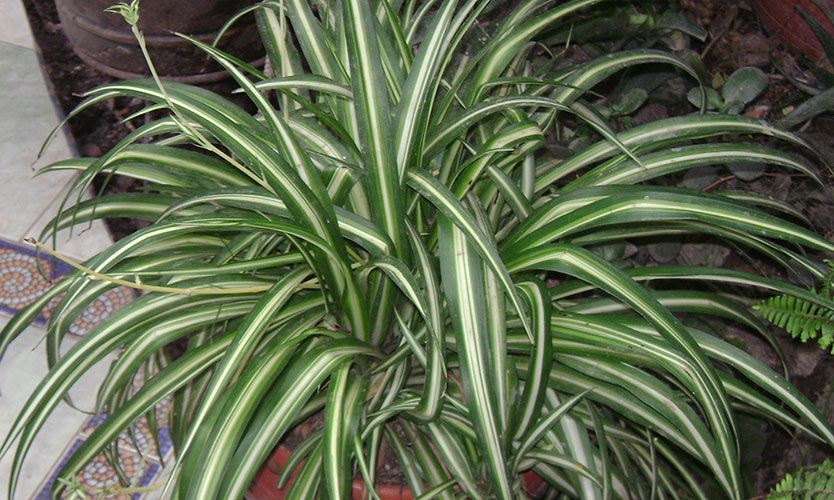 Spider plants - home improvements