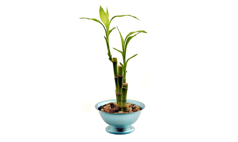 bamboo plant - home improvements
